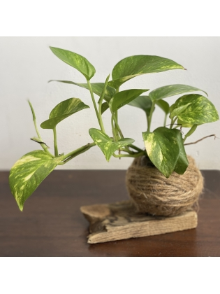 Kokedama Money Plant (Small) - with  reclaimed wood stand