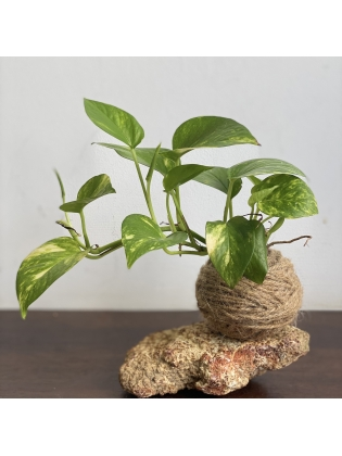 Kokedama Money Plant (Small) - with  stone stand