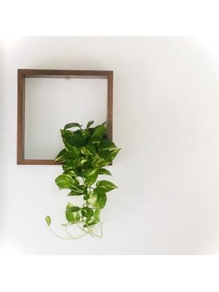 Kokedama Money plant- Hanging Type- Long length with  timber frame