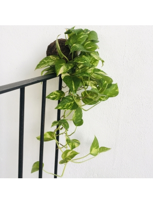 Kokedama Money plant- Hanging Type- Long length only the plant ball