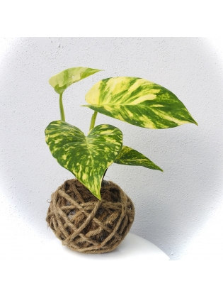 Kokedama Money plant- Larger leaves- only the plant ball