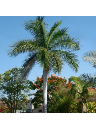 Royal Palm (Roystonea Regia)