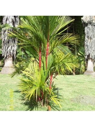 Red Palm (Cyrtostachys Renda)