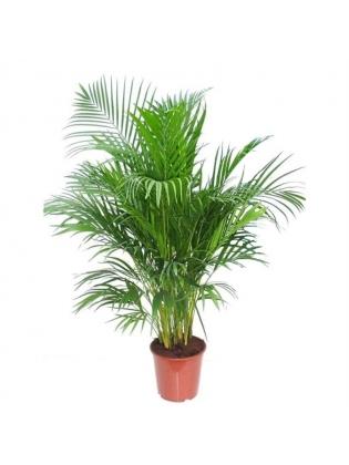 Areca Palm (Dypsis Lutescens)