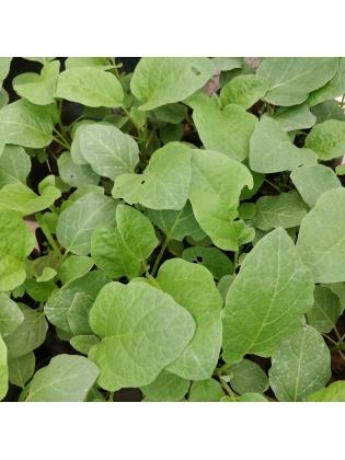 Brinjal (Solanum melongena)