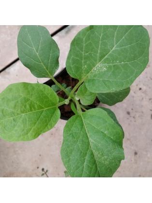 Egg Plant (Solanum melongena)