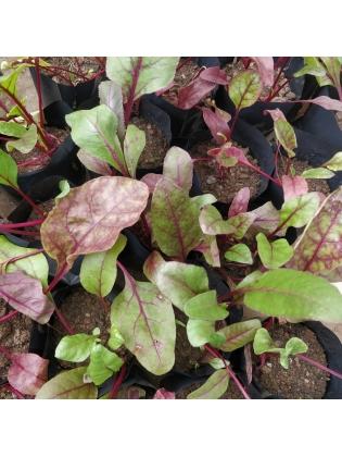 Beetroot (Beta vulgaris subsp. Vulgaris)