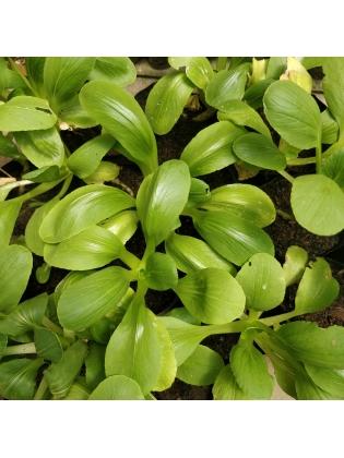 Bok Choy (Brassica rapa subsp. Chinensis)